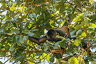 Spider monkey in aguacatillo tree picking and eating the fruit, which is known as wild avocado, Monteverde cloud forest, Costa Rica, Copyright 2016 David A. Ponton