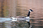 On a chilly autumn afternoon, this Canada Goose enjoys a swim.<br />