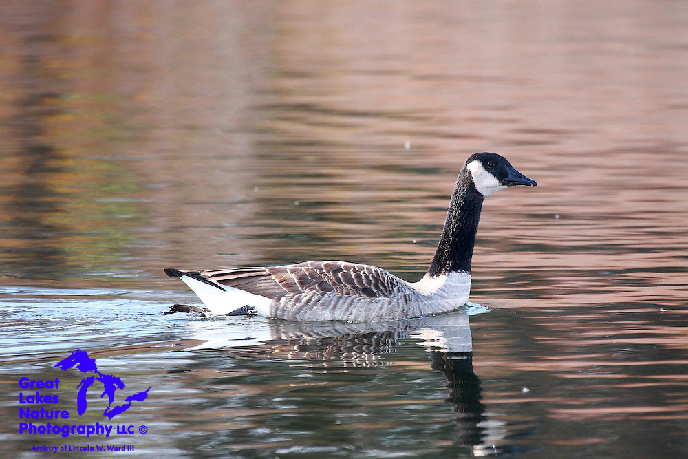 On a chilly autumn afternoon, this Canada Goose enjoys a swim.<br /> <br /> One in a series of image captures from the Bay Beach Wildlife Sanctuary, Green Bay, WI, recorded on November 9, 2009.