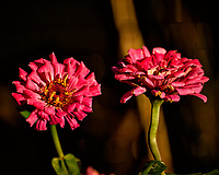 Late autumn reddish-pink Zinnia flowers. Backyard Nature in New Jersey. Image taken with a Nikon D4 camera and 80-400 mm VR telephoto zoom lens (ISO 100, 400 mm, f/5.6, 1/800 sec).