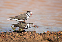 Three-Banded Plovers mock-mating, Phinda private Game Reserve, KwaZulu Natal, South Africa