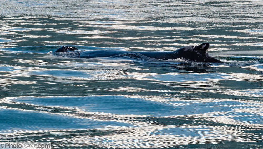 Blowhole and dorsal fin of humpback whale  (Megaptera novaeangliae). Cruise to Tracy Arm Fjord and South Sawyer Glacier from Juneau, Alaska, USA. We highly recommend the smoothly stabilized day cruise aboard the 56-foot boat Adventure Bound. This journey to the heart of Tracy Arm-Fords Terror Wilderness (Tongass National Forest) rivals Norwegian fjords and adds a punchbowl of icebergs from the spectacular South Sawyer Glacier, which calved ice into the tidewater with a rumble and a splash. Whales, bears, sea lions and other wildlife showed up along the way. The fjord twists narrowly 30 miles into the coastal mountains, with peaks jutting up to a mile high, draped with tumbling waterfalls.