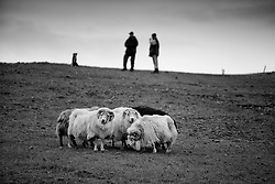 Sheeps at Hunsstadir, north of Iceland - Kindur við Húnsstaði