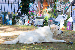 EXCLUSIVE: George Michael's beloved dog Abby pines for her late owner at his shrine. The 11-year-old golden labrador - raised by the Wham! singer since she was a puppy - often sits by the tributes laid by fans near the pop superstar's home in Highgate. 05 Sep 2017 Pictured: George Michael's beloved dog Abby. Photo credit: MEGA TheMegaAgency.com +1 888 505 6342
