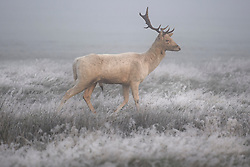 © Licensed to London News Pictures. 08/11/2019. London, UK. A white fallow Deer grazing in a frost and fog covered landscape at Richmond Park in west London on a bright Autumn morning. Parts of the north of England have experienced severe flooding following torrential rainfall. Photo credit: Ben Cawthra/LNP