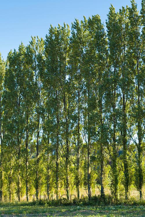 Line of tall Poplar, Populus,  trees in Jersey, Channel Isles