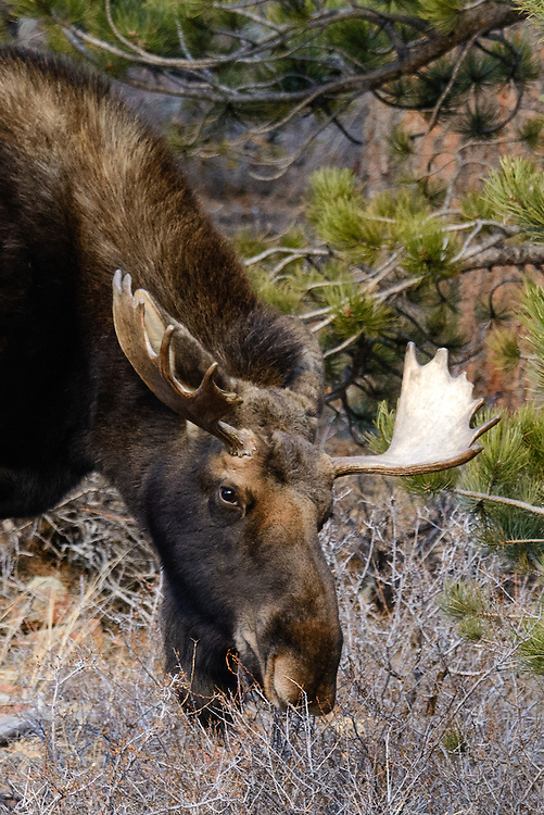 Moose (Alces alces) bull near Allenspark, Colorado