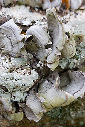 12 Oct 2011: shelf fungus on tree trunk. Rural Indiana, specifically in or close to Brown County.