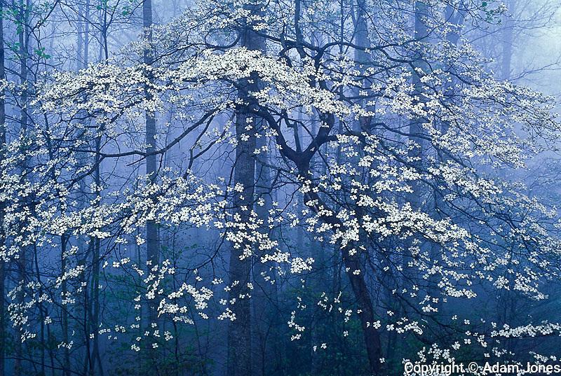 Flowering Dogwood tree in foggy forest, Kentucky