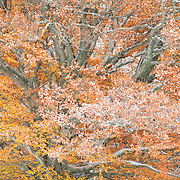 Beech_Fagus sylvatica tree detail with leaves in autumn and some snow