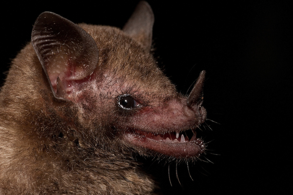 Common Long-tongued Bat (Glossophaga soricina)  CAPTIVE<br />