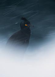 Common Shag (Phalacrocorax aristotelis), Hornøya, Finnmark, Norway