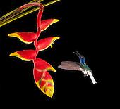 Tropical Hummingbirds: The Finer Details