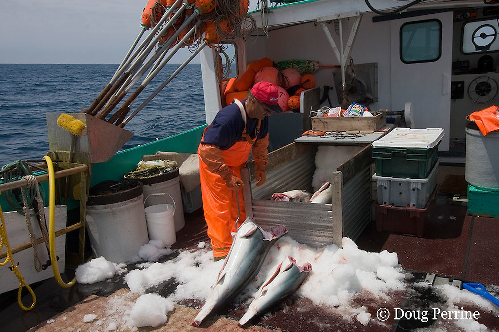 owner / captain of longline fishing boat loads finned porbeagle shark ( Lamna nasus ) carcasses into ice box Nova Scotia, Canada ( North Atlantic Ocean )