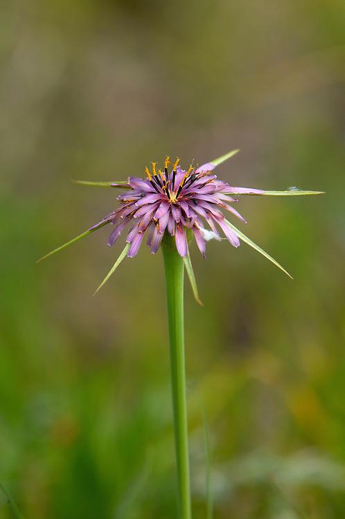 Goat´s Beard (Tragopogon porrifolius), Northern Cyprus