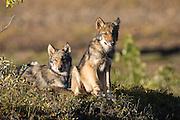 Wolf, Canis lupus, pups rest on autumn tundra, Grant Creek pack, Denali National Park, Alaska, horizontal, wild