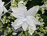 Shooting Star Hydrangea, Molbak's Garden & Home, Woodinville, Washington.