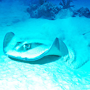 Southern Stingray inhabit sandy areas, lie on bottom often covered with sand in Tropical West Atlantic; picture taken Belize.