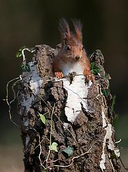 Eekhoorn zittend op stam van dode berk; Red Squirrel sitting on a dead tree trunk