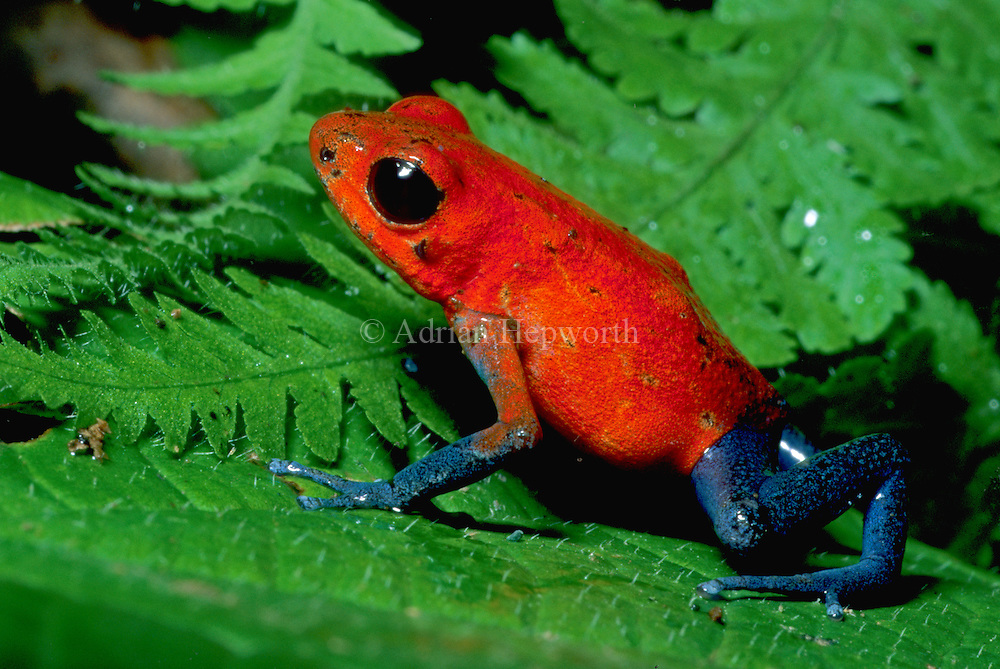 Poison Dart Frog (Dendrobates pumilio) in caribbean rainforest. La Selva, Costa Rica. <br />