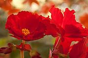 begonias, red, garden, gardener, summer, fall, flowers, floral, bloom, blossom, botanic