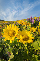 Balsamroot (Balsamorhiza deltoidea), Dalles Mountain Ranch in the Columbia Hills, Columbia River Gorge National Scenic Area, Washington