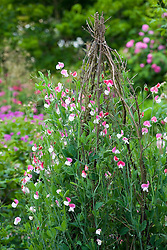 Lathyrus odoratus 'Painted Lady' growing on a tripod at Sissinghurst Castle Garden