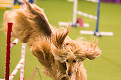 Westminster Kennel Club Agility Trials -2014