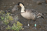Nene or Hawaiian Goose photos