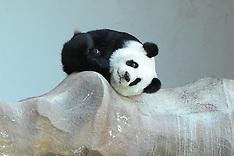 China - Panda Eating A Moon Cake - 14 Sep 2016