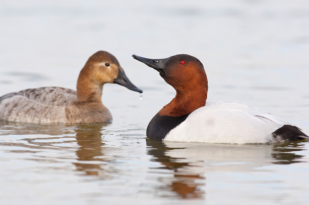 Canvasbacks, Aythya valisineria, male & female, Chesapeake Bay, Maryland