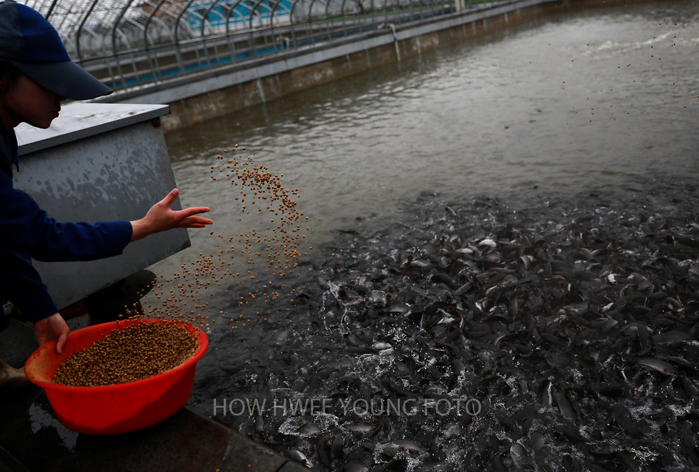 A North Korean worker throws feed into a pond at a catfish farm in Pyongyang, North Korea, 17 April 2017. A North Korean missile exploded within seconds of its launch on the east coast on 16 April, South Korean and US officials say as tensions rise in the region over nuclear issues.
