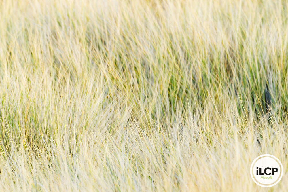 Grasses, Point Reyes National Seashore, California