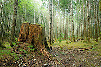 An old growth tree stump, amid of stand of Alder trees stands mute, a reminder of the larger trees that once grew in the forests around Muchalat Lake in the central Vancouver Island region.  Vancouver Island, British Columbia, Canada.
