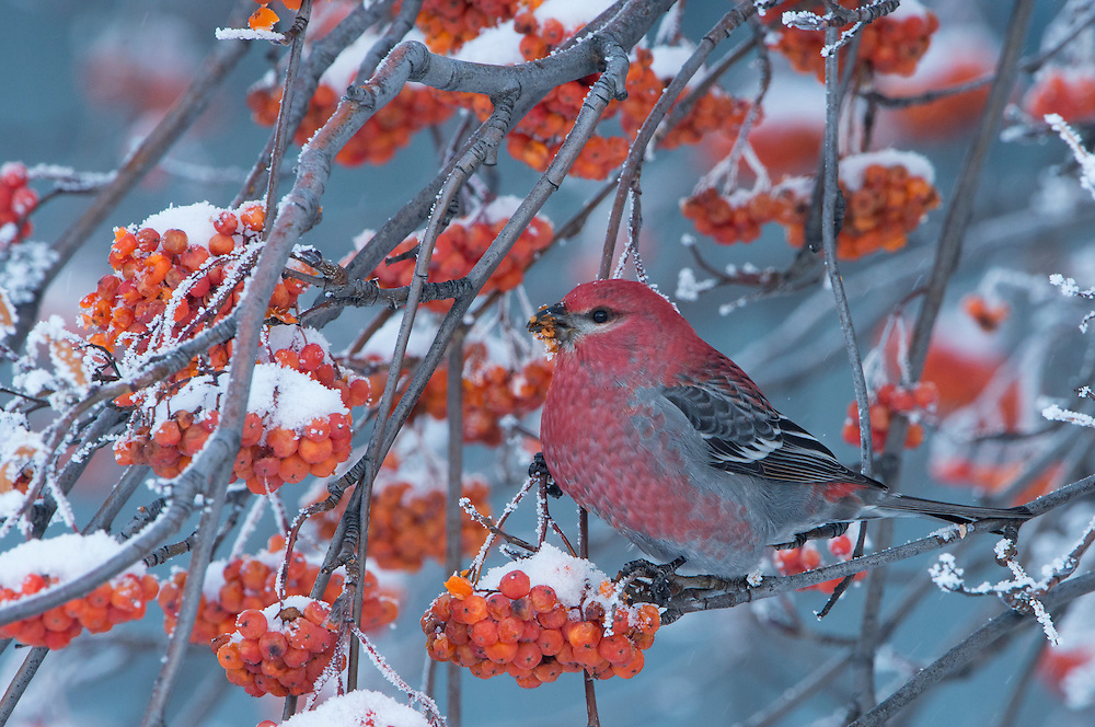 A pine grosbeak (Pinicola enucleator) in winter, Missoula, Montana
