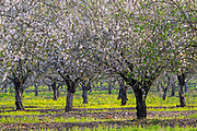A plantation of blooming almond trees. Photographed in Israel in February