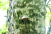 Montenegro, Kolasin, Biogradska Gora forest and national park Fungi grows on a tree trunk