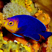 Cherubfish inhabit deep reefs and walls, usually deeper than 80 ft. in Tropical West Atlantic; Picture taken Tobago.