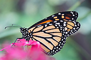 As this Monarch sat still for a moment feeding, I was able to catch the beautiful wing design. Middletown, Delaware