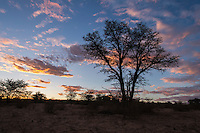 Dusk over the Nossob Riverbed silhouetting acacia trees and shrubs, Kgalagadi Transfrontier Park, Northern Cape, South Africa