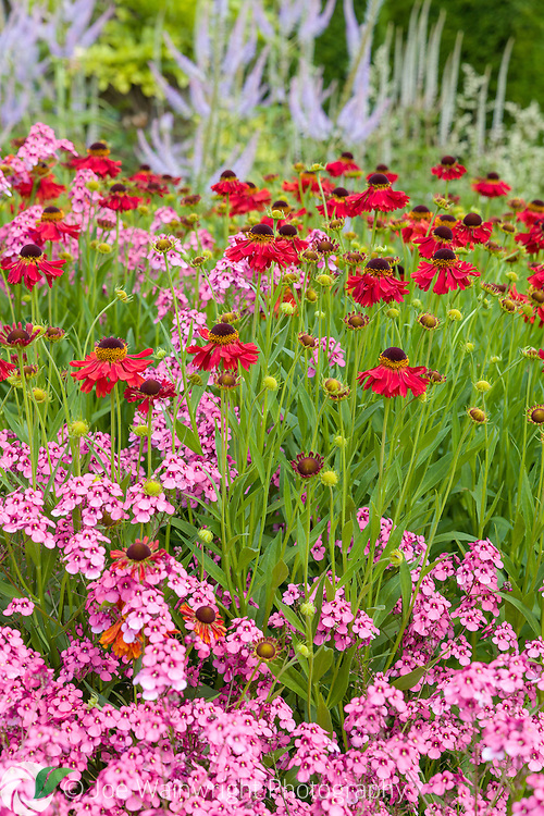 Diascias and heleniums mingle in a herbaceous border at Abbeywood Gardens, Cheshire - photographed in July