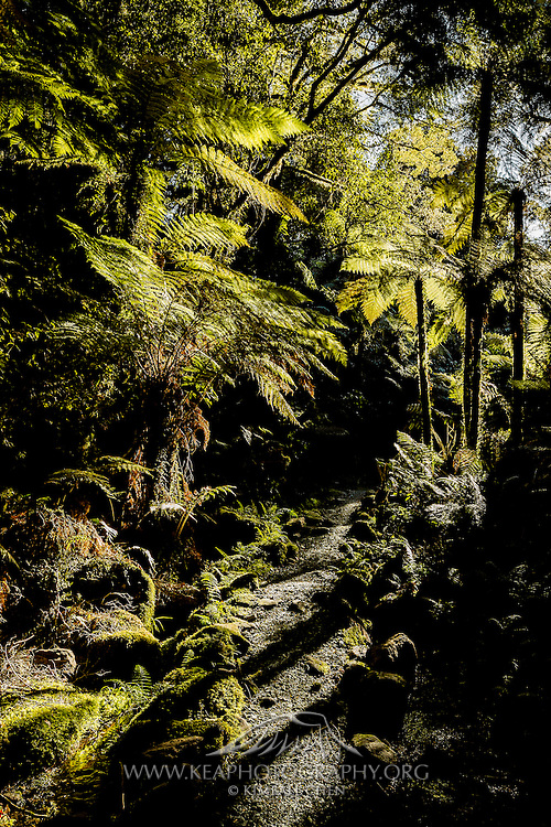 The Milford Track winds through a beautiful forest of green ferns and mosses and flora in Fiordland National Park.