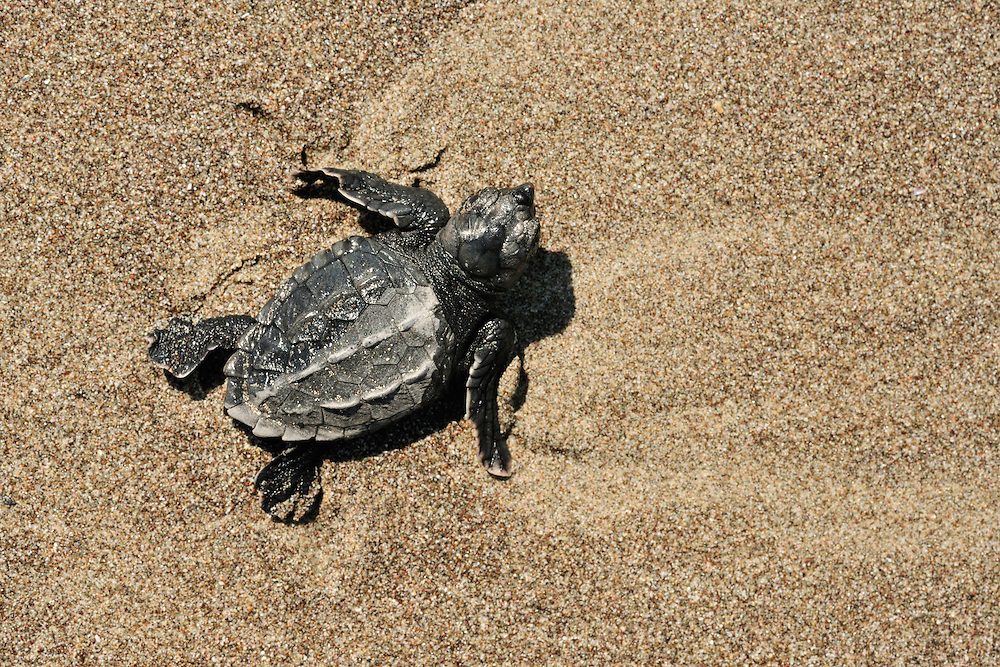 Once the newly hatched loggerhead sea turtle (Caretta caretta) is licked by the first waves it is saved from the ghost crabs, just to face the aquatic predators now. The hatchling most effectively switches from the alternate movements of on-land-locomotion to the simultaneous stroke of underwater flight.