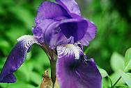 Iris - Washington