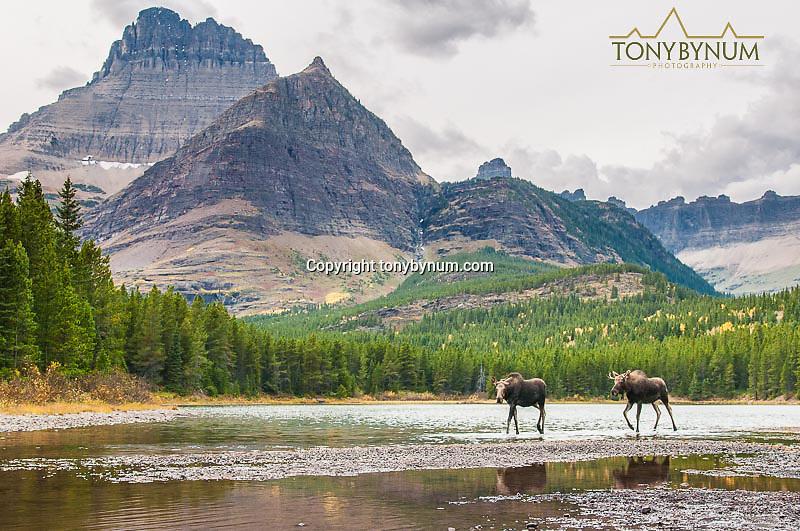 moose bull following cow in lake big mountain background