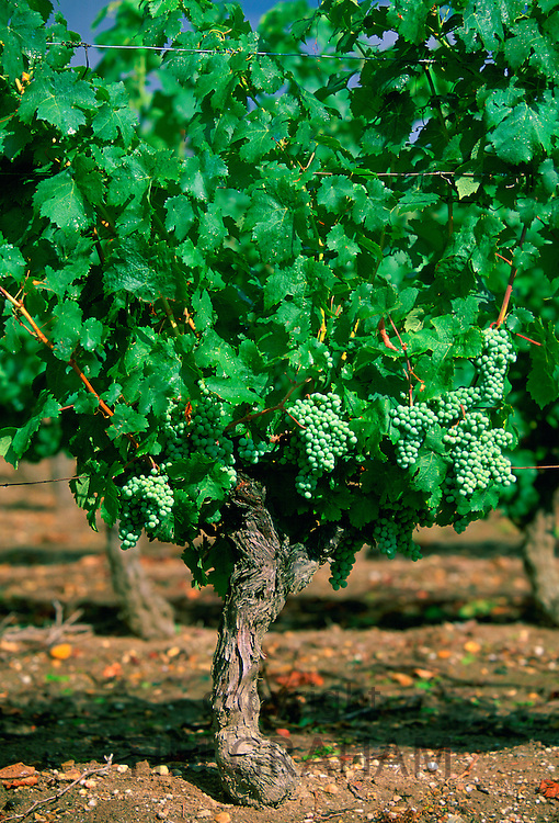 White grapes growing on a vine at Chinon Vineyard, Chinon in the Loire Valley, France.