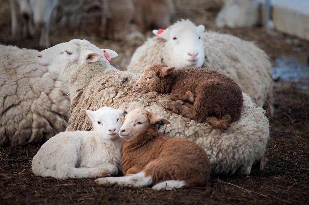 Lambs resting in pen near sheep