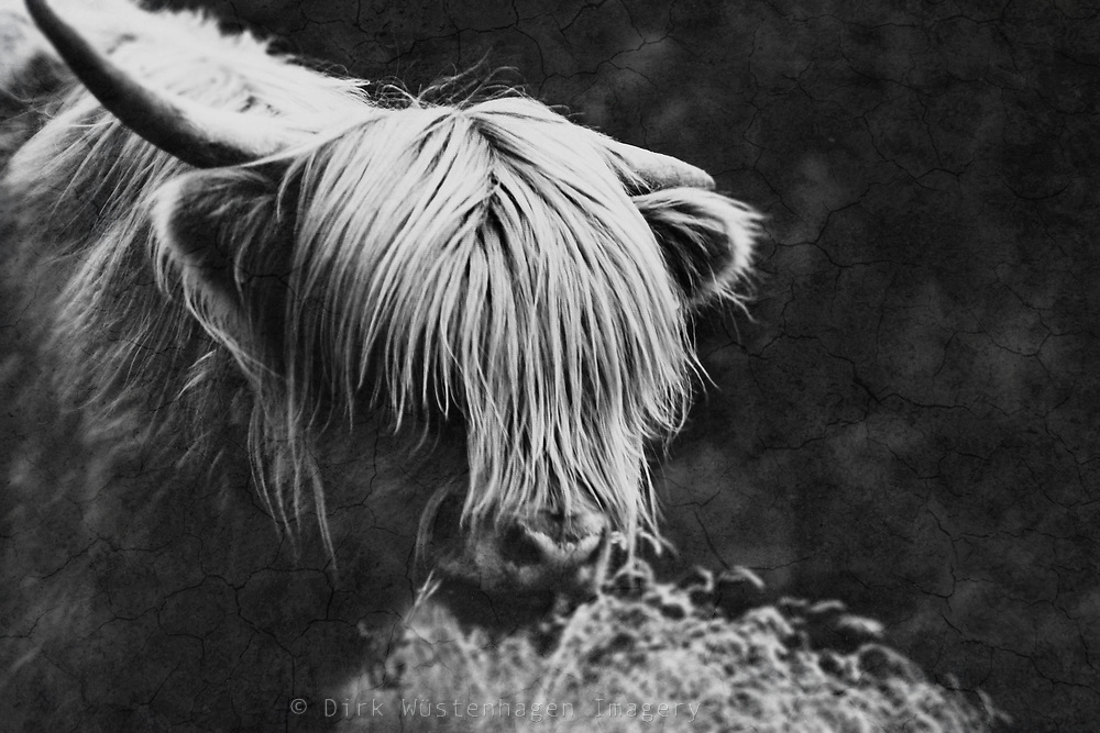 Portrait of a highland cow - black &amp; white photograph<br /> Society 6 products: https://society6.com/product/hyppy_print#1=45<br /> REDBUBBLE products: http://www.redbubble.com/people/dyrkwyst/works/20468864-hyppy?p=art-print