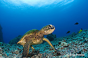 green sea turtle or honu, Chelonia mydas, Kona, Hawaii, USA ( Central Pacific Ocean )