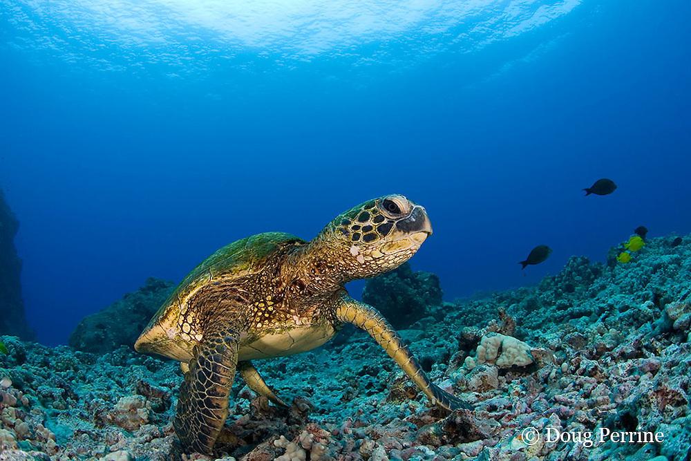 green sea turtle or honu, Chelonia mydas, Kona, Hawaii, USA ( Central Pacific Ocean )